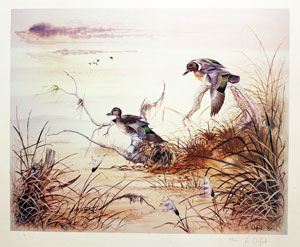 Green winged Teal Ducks
